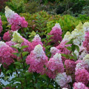 Hydrangea-paniculata-'Renba'-FRAISE-MELBA hedge