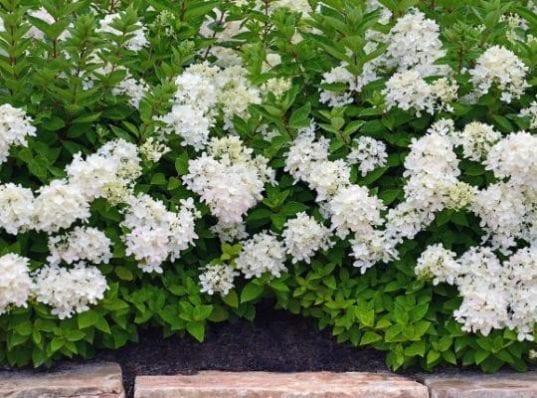 Hydrangea Bombshell2 537x398 - Hydrangea paniculata 'Bombshell'