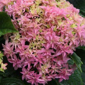 Inspire-Hydrangea-blooms