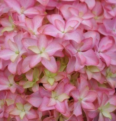 Inspire-Hydrangea-floret-detail