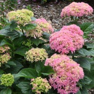 Inspire-Hydrangea-shrub