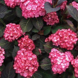 Miss-Saori-Hydrangea-blooms-and-foliage