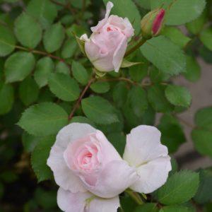 Morden Blush Rose buds 1 scaled 300x300 - Rosa 'Morden Blush'