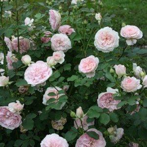 Morden Blush Rose bush 1 300x300 - Rosa 'Morden Blush'