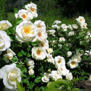Rosa JP Connell hedge