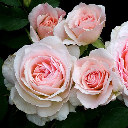 Morden Blush Rosa
