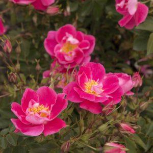 Rosa William Baffin blooms 1 300x300 - Rosa 'William Baffin'