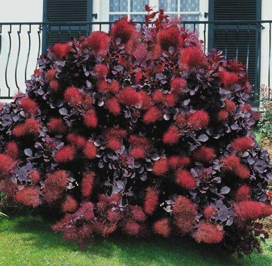 Royal Purple Smoke Bush 537x526 - Cotinus coggygria 'Royal Purple'