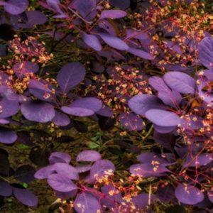 Royal Purple Smoke Bush Tree 300x300 - Cotinus coggygria 'Royal Purple'