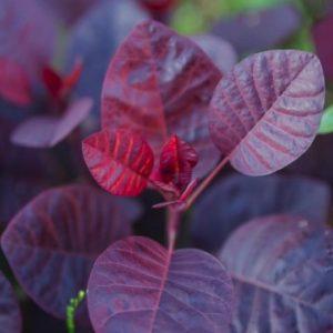 Royal Purple Smoke Bush leaf 300x300 - Cotinus coggygria 'Royal Purple'