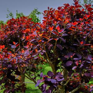 cotinus coggygria royal purple cont 4 litres 300x300 - Cotinus coggygria 'Royal Purple'