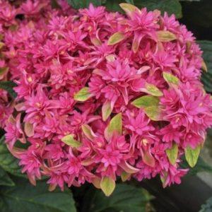 hortensia princess diana  300x300 - Hydrangea macrophylla x paniculata 'Princess Diana' WOWTime® ('H21-3')