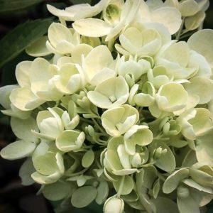 hydrangea bombshell florets 300x300 - Hydrangea paniculata 'Bombshell'