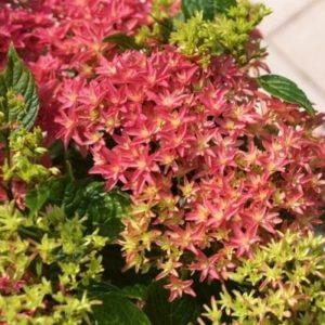 hymh213 2011 4 300x300 - Hydrangea macrophylla x paniculata 'Princess Diana' WOWTime® ('H21-3')