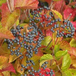 Chicago Lustre Viburnum fall colour 300x300 - Viburnum dentatum 'Chicago Lustre'®