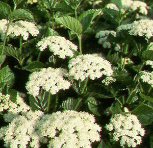 Chicago Lustre Viburnum flowers 1 - Viburnum dentatum 'Chicago Lustre'®