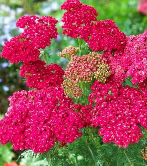 Flat bloom cluster of tiny bright Pink Yarrow flowers with yellowish centers