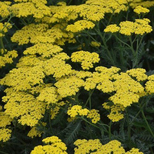 Flat bloom clusters of tiny bright Sassy Summer Lemon Yarrow flowers