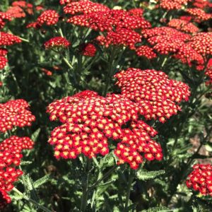 Flat bloom clusters of tiny dark Red Yarrow flowers with a white eye