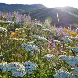 White Yarrow plants in bloom