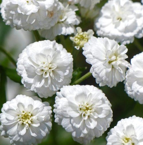 Double zinnia-like white blooms of Yarrow Noblessa.