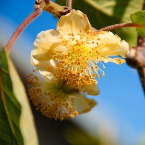 Yellow bloom with deep yellow stamens of the Actinidia arguta Andrew kiwi plant.