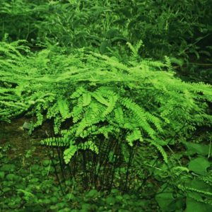 Green fern leaves and black stems of Northern Maidenhair Fern