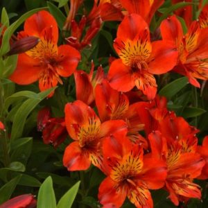 Bright tangerine Hardy Peruvian Lily flowers