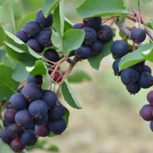 Clusters of purple blue Martin Saskatoon Serviceberry round berries hanging from stems of grey green foliage.
