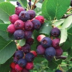 Isaac Saskatoon Berry fruits ripening in summer. Compact form of serviceberry.