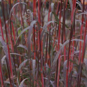 Red-stemmed Holy Smoke Big Bluestem ornamental grass with purplish green blades.