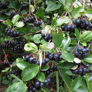 Clusters of round black Aronia melanocarpa Aron berries