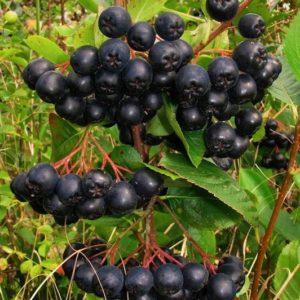 Clusters of deep black large, round Aronia melanocarpa Nero berries on red stems.