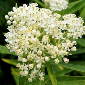 Creamy Ice Ballet Swamp Milkweed flower cluster. against thin yellow green leaves.