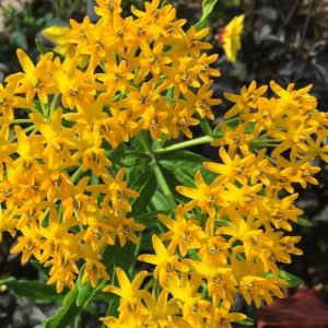 Cluster of bright Hello Yellow Butterfly Weed star-shaped flowerets.
