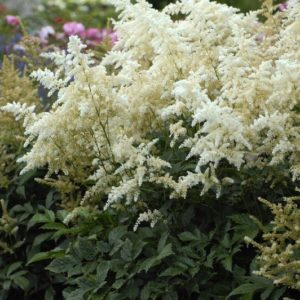 Spikes of Dwarf White Astilbe plumes