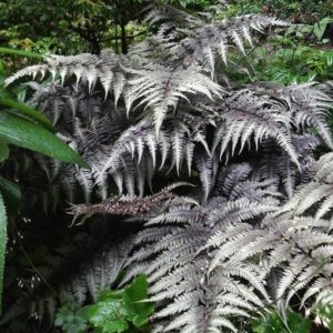 Japanese Painted Fern of blue