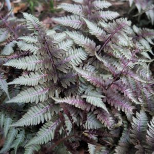 Athyrium nipponicum Silver Falls Fern fronds that are dark green with an overlay of silvery hues.