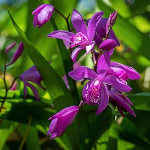 Bright fuchsia blooms of the Pink Hardy Orchid against