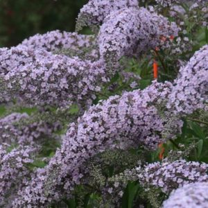 Conical lavender panicles of Grand Cascade Butterfly Bush.