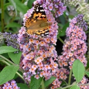 Bicolor Butterfly Bush pink and orange panicles