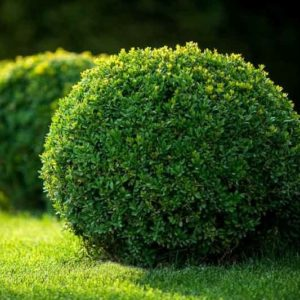 Green Velvet Boxwood pruned into a sphere.