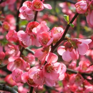 Pink and red blooms of Pink Flowering Quince.