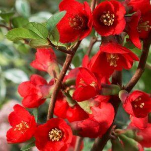 Chaenomeles x superba texas scarlet single blooms.
