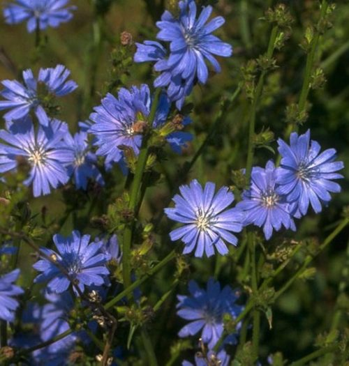 Blue flowers of the Chicory plant.