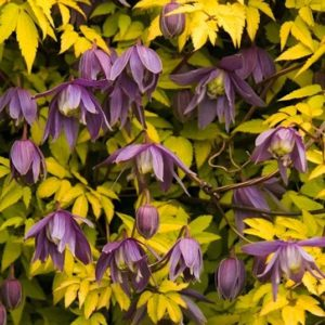 Clematis stolwijk gold vine with yellow leaves