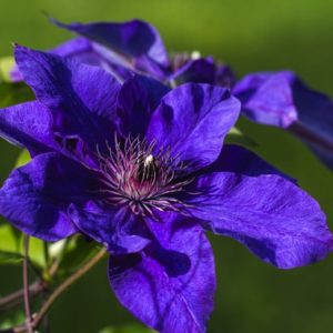 Clematis the president large
