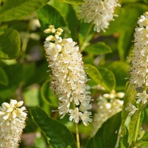 Hummingbird Summersweet brush-like spikes of white flowers.