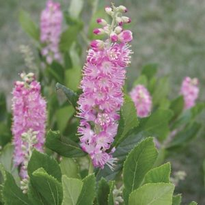 Clethra alnifolia Ruby Spice brush-like spikes of pink blooms.