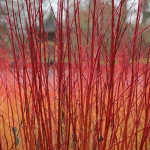 Reddest red barked dogwood stems.
